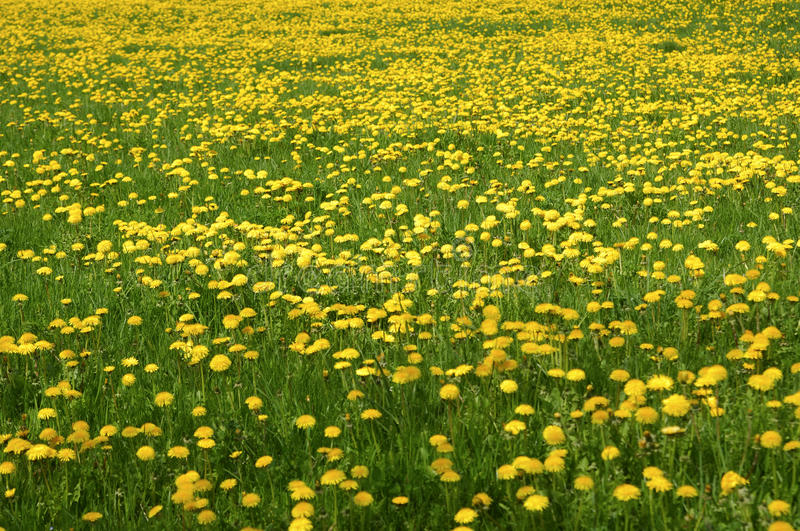Meadow with blossoming Common Dandelion