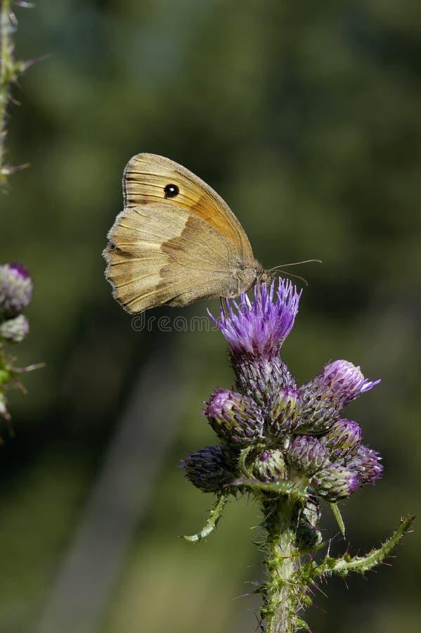 meadow brown fotografia stock