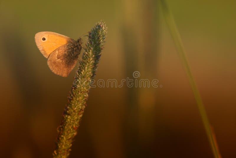 meadow brown zdjęcie stock