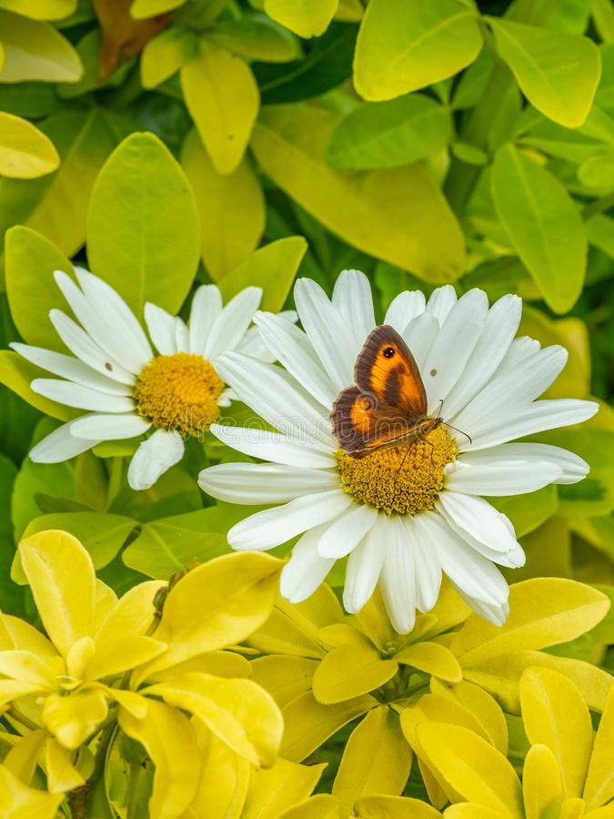 Meadow brown butterfly, Maniola jurtina. English country Garden. Meadow brown butterfly, Maniola jurtina, on white heath aster, Symphyotrichum ericoides. English royalty free stock photos