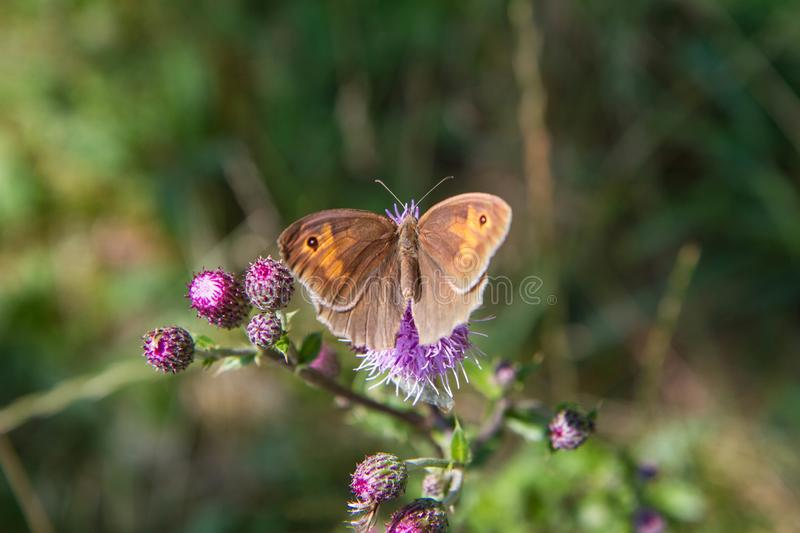 The Meadow brown butterfly royalty free stock photos