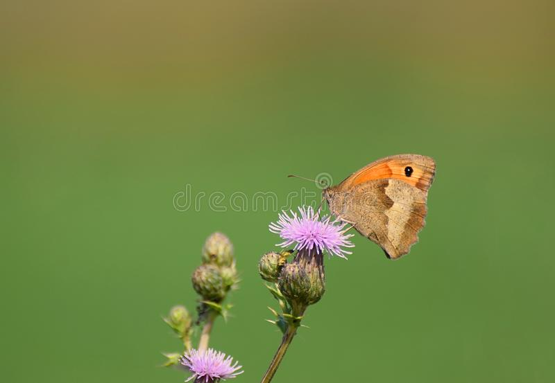 Meadow Brown Butterfly Maniola jurtina a Thistle. A Meadow Brown on a wild Thistle Flower in the UK in July stock photo