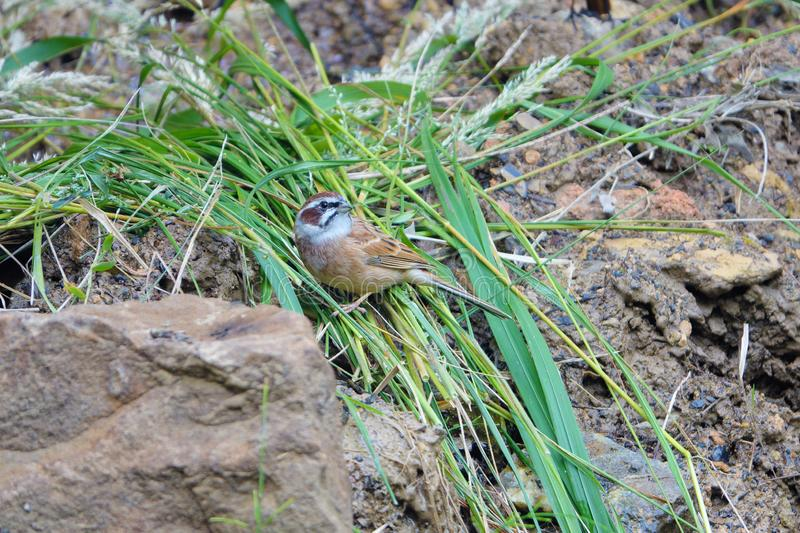 Meadow Bunting. The close-up of a male Meadow Bunting stands on ground. Scientific name: Emberiza cioides royalty free stock images
