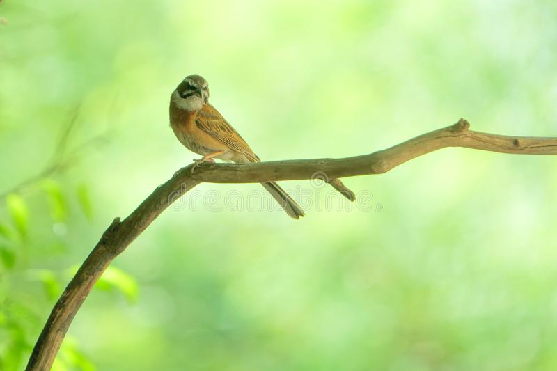Meadow Bunting. The close-up of a Meadow Bunting stands on branch. Scientific name: Emberiza cioides stock images