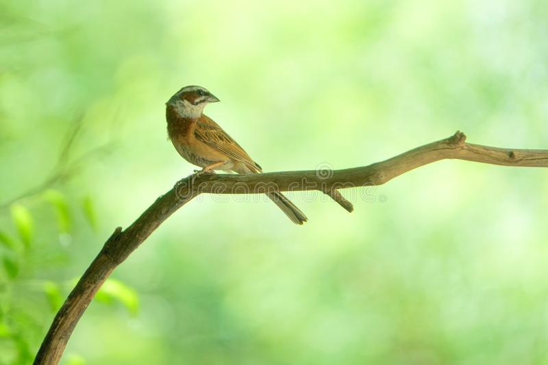 Meadow Bunting. The close-up of a Meadow Bunting stands on branch. Scientific name: Emberiza cioides stock photo