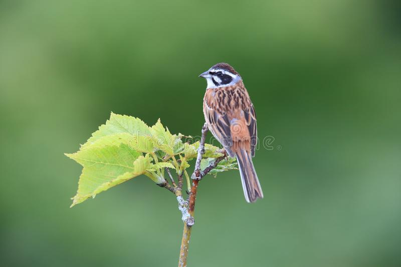 Meadow Bunting male in Japan. Meadow Bunting Emberiza cioides male in Japan royalty free stock image