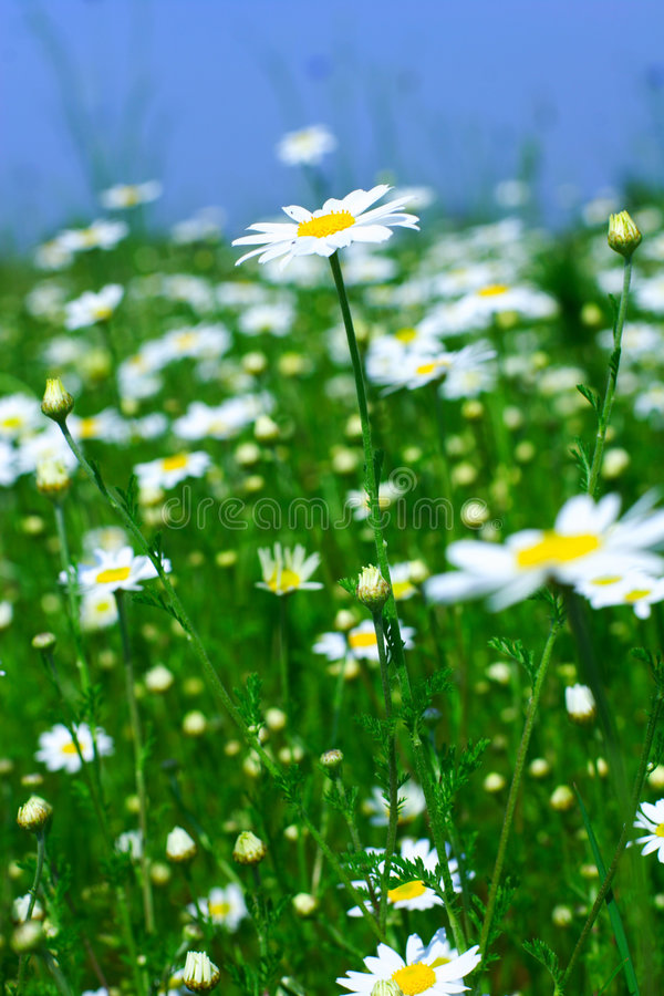 Meadow: Camomile flowers. Spring meadow with camomile flowers royalty free stock photo