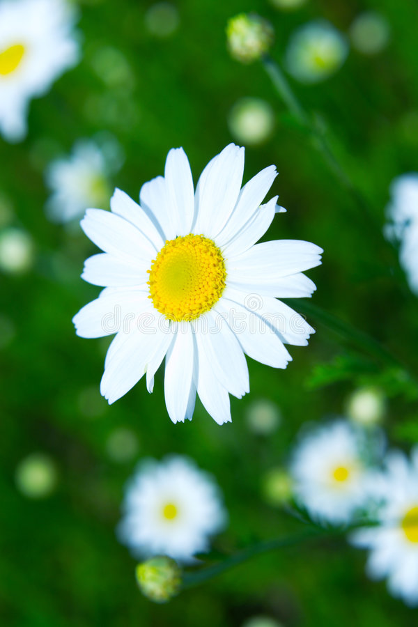 Meadow: Camomile flowers. Spring meadow with camomile flowers stock images