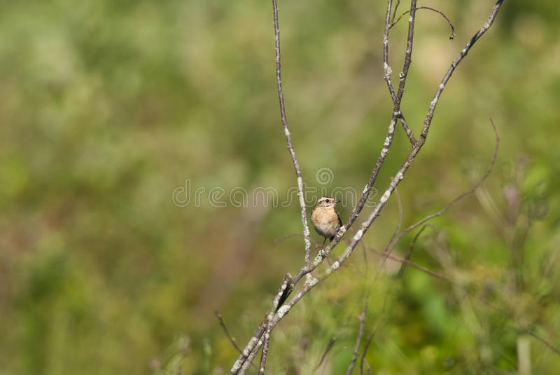 Meadow chat. In summer, green background stock photos