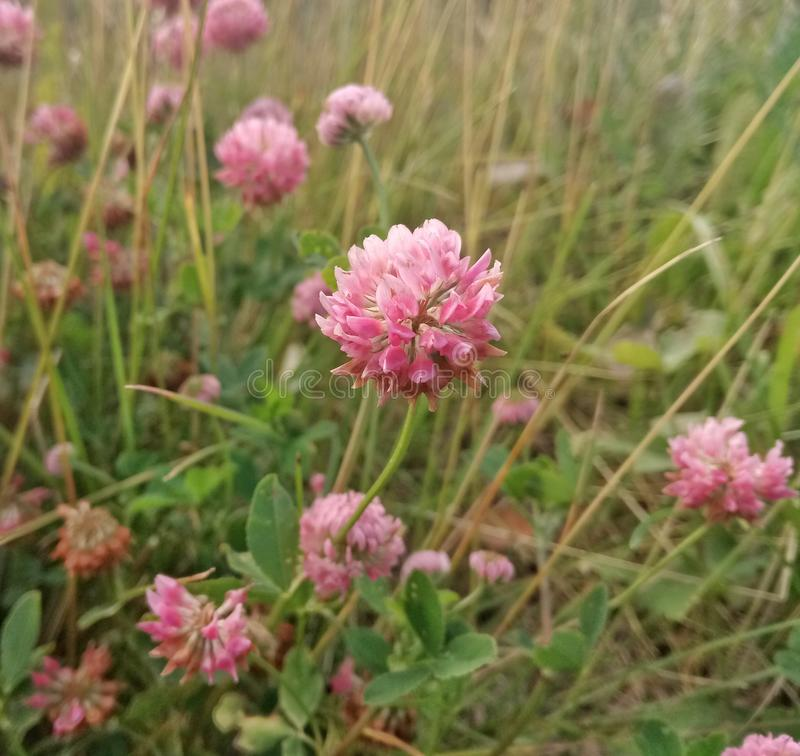 Meadow clover in the field. Flower, pink, summer, day, grass, nature royalty free stock photo