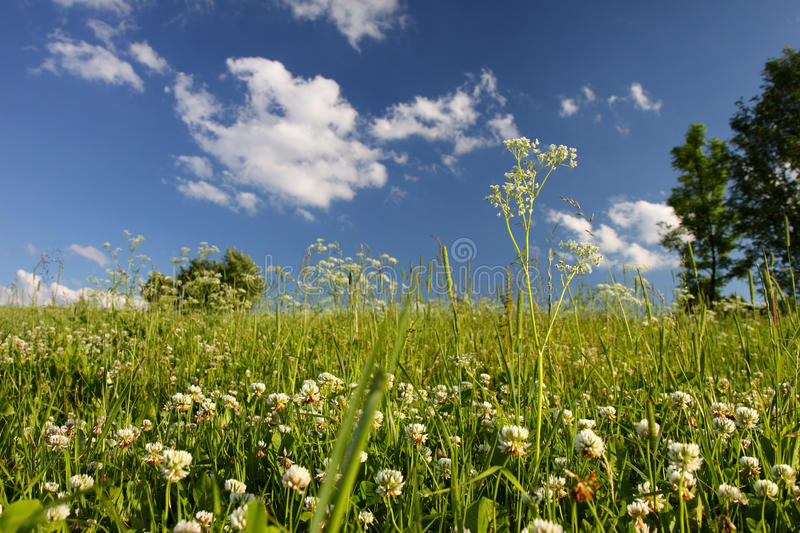 Meadow of clover and trees royalty free stock images