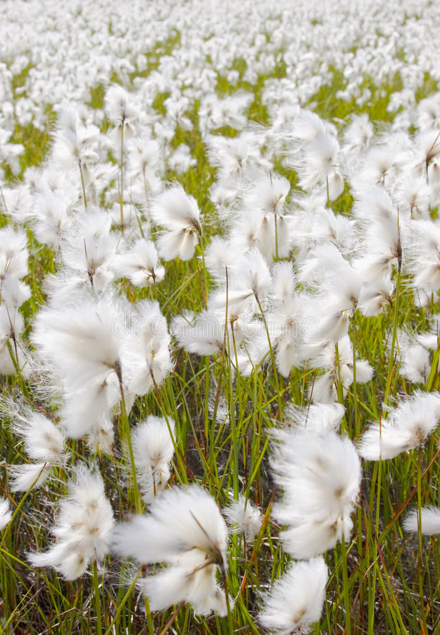 Meadow of cotton grass. Moving cotton grass on a sunny and windy day in the norwegian mountains royalty free stock photo