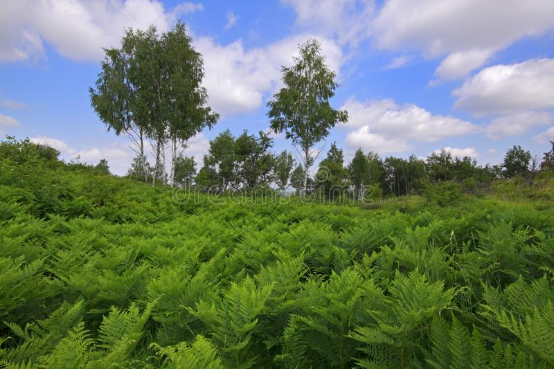 Meadow covered by Eagle fern plants with birches and cloudy sky. Meadow covered by Eagle fern Pteridium aquilinum plants with birches and cloudy sky on royalty free stock images