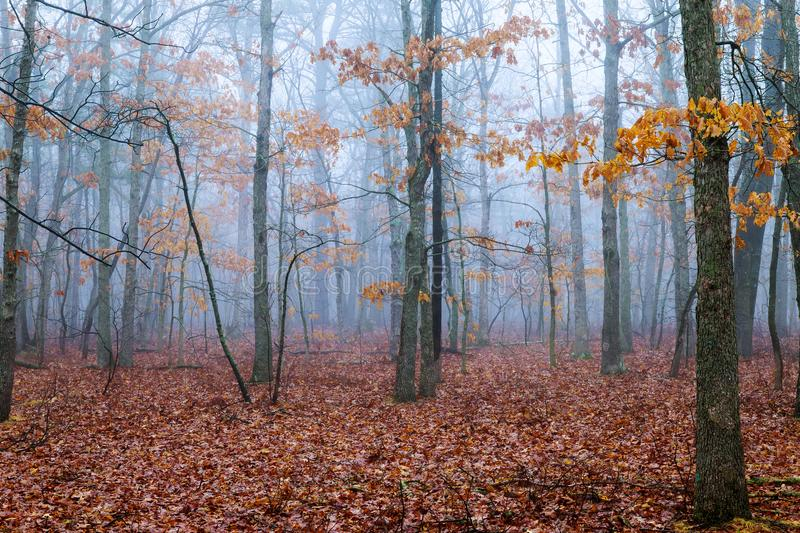 horror scene of a dark forest with blach trees and blue fog stock photos