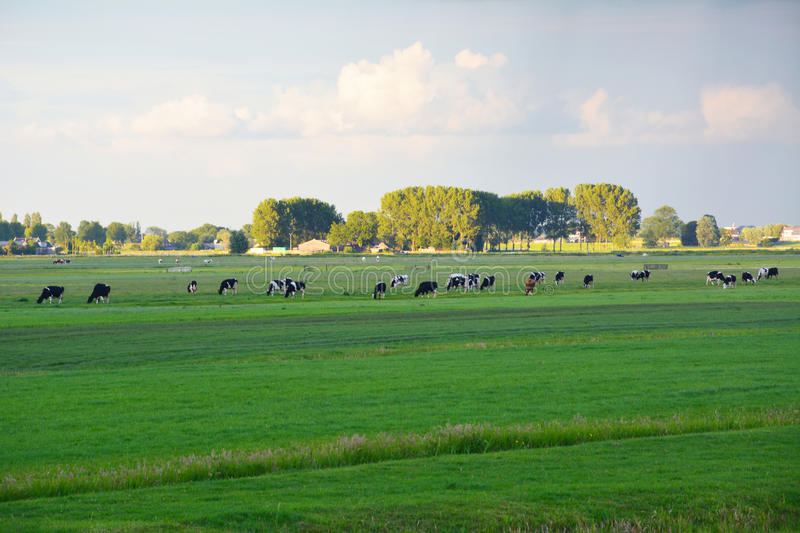Meadow with cows stock images