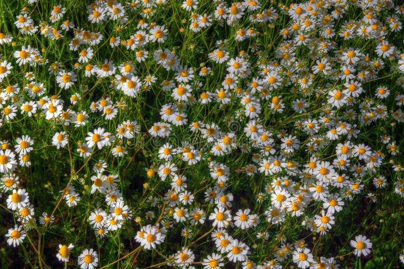 Meadow with daisies stock image