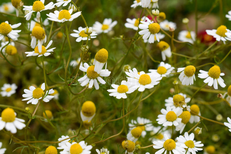 Meadow of Daisies stock image
