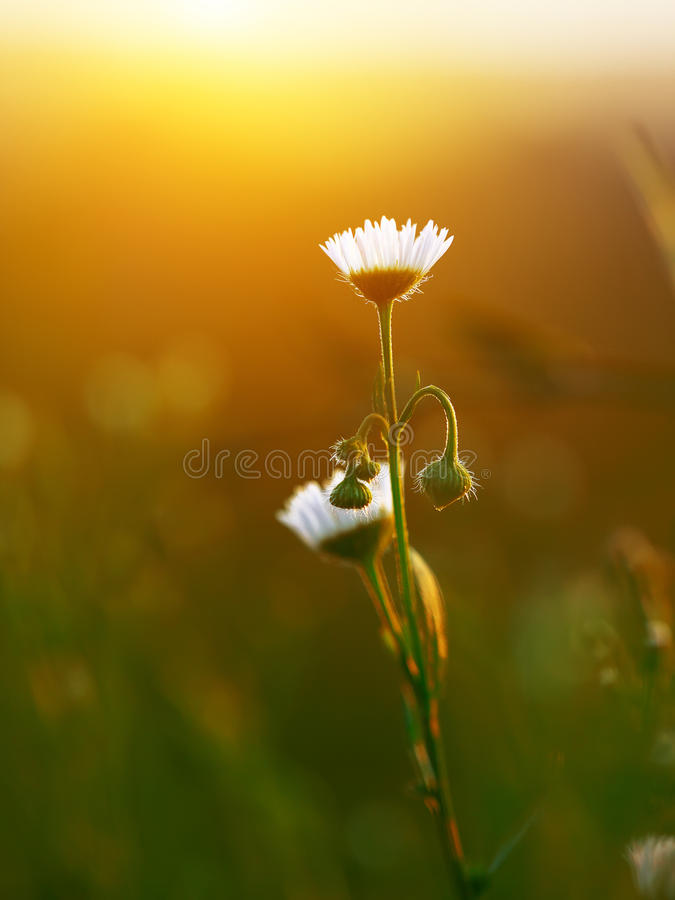Meadow daisies flowers blooming in sunny day royalty free stock image