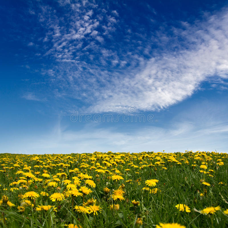 Meadow of dandelions stock photography