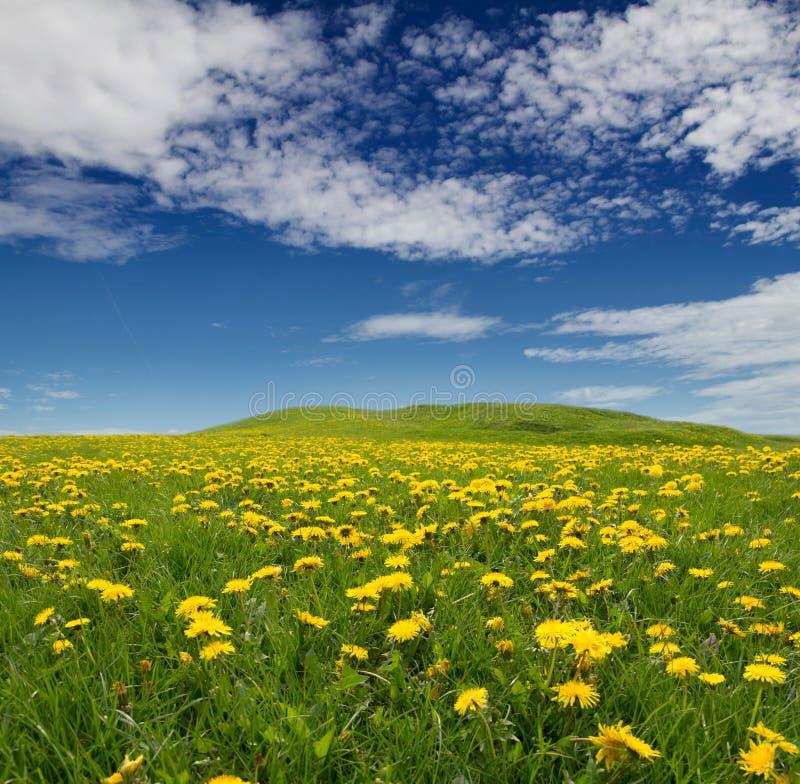 Meadow of dandelions stock images