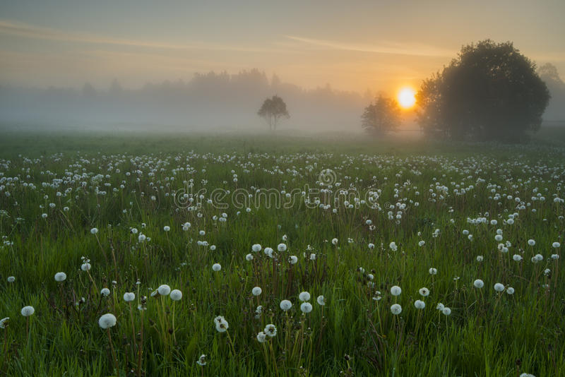 A meadow with dandelions royalty free stock image