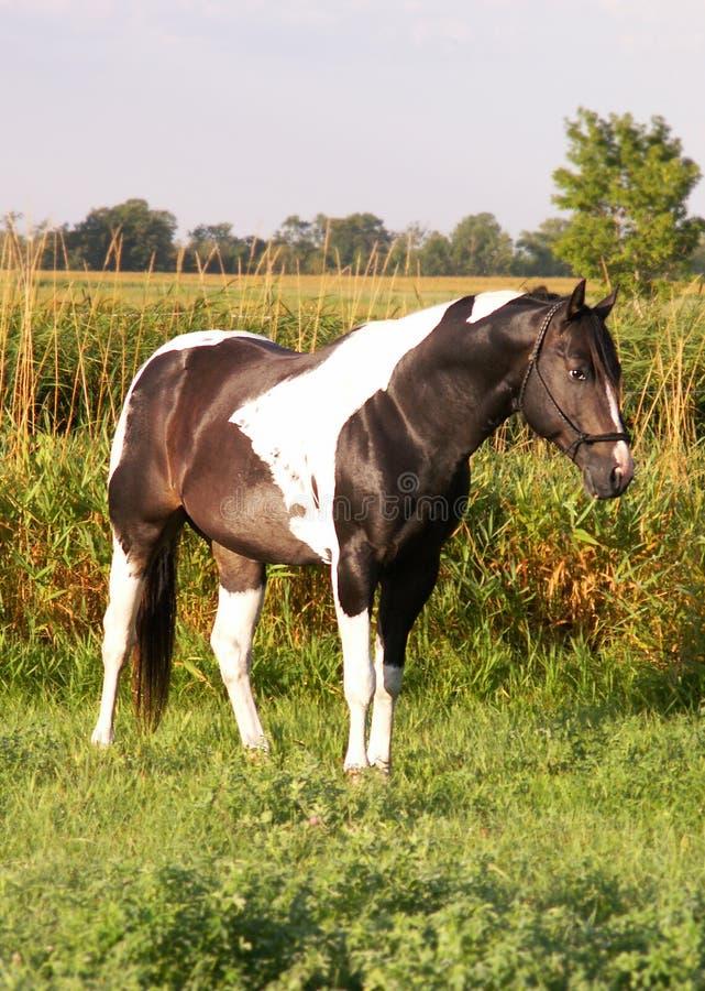 meadow farby ogier obrazy royalty free
