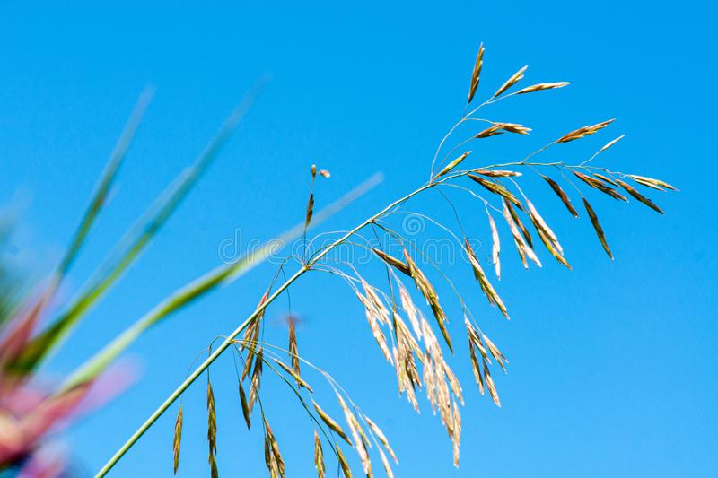 Meadow fescue Festuca partensis on a bright sunny day. Close-up stock photos