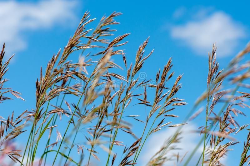 Meadow fescue Festuca partensis on a bright sunny day. Close-up royalty free stock photo