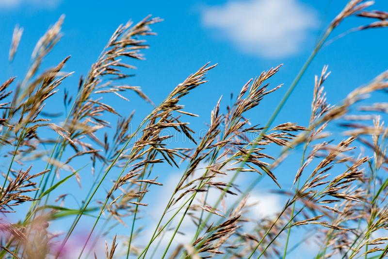 Meadow fescue Festuca partensis on a bright sunny day. Close-up royalty free stock photos