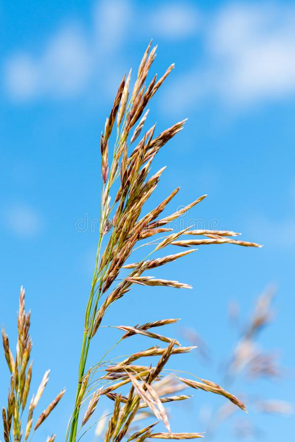 Meadow fescue Festuca partensis on a bright sunny day. Close-up stock photography