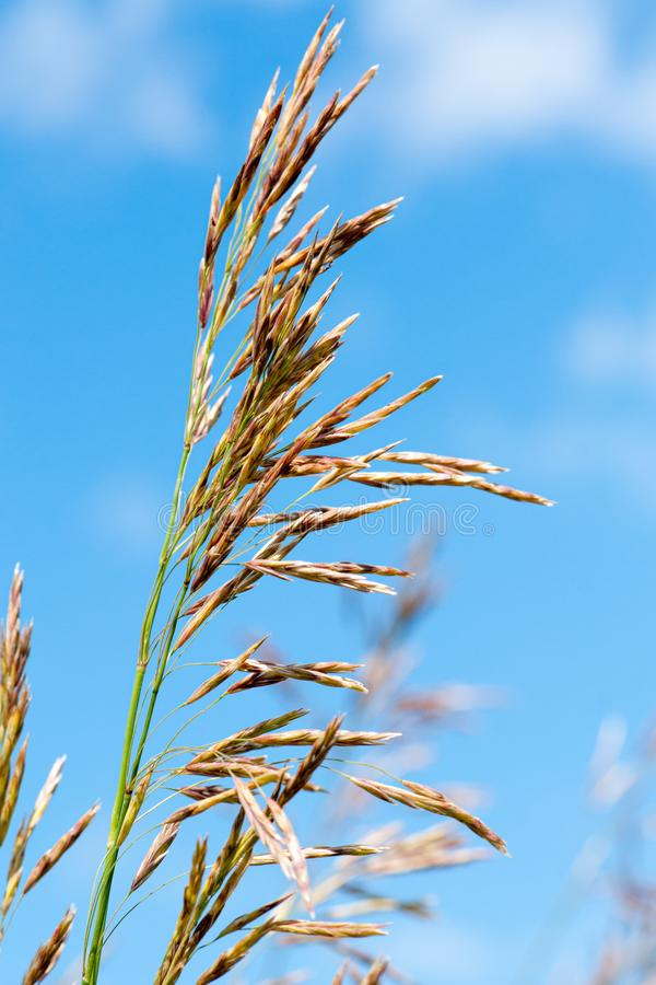 Meadow fescue Festuca partensis on a bright sunny day. Close-up royalty free stock image