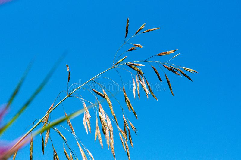 Meadow fescue Festuca partensis on a bright sunny day. Close-up stock photo