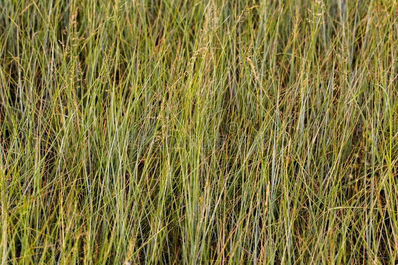 Meadow Fescue plants daylight background with selective focus.  stock photo