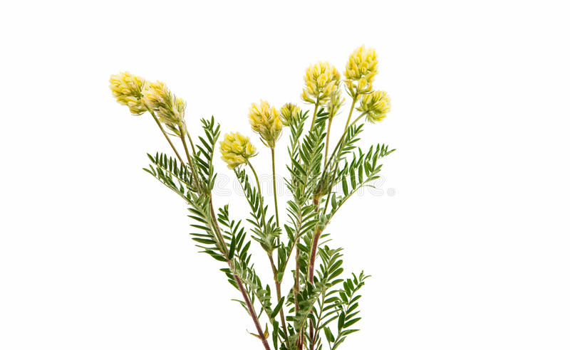 Meadow flower plant. On a white background royalty free stock image