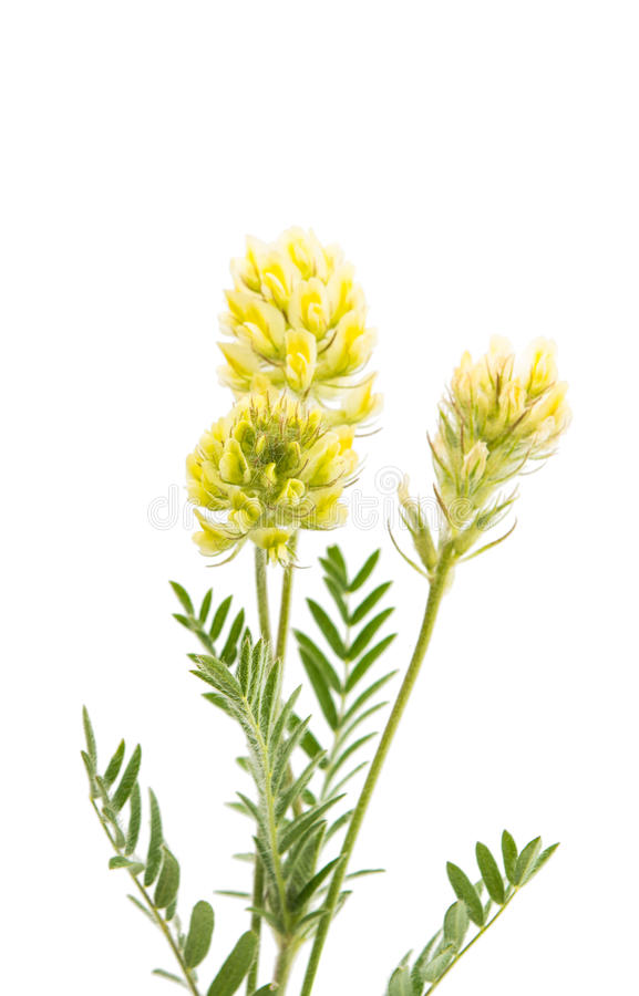 Meadow flower plant. On a white background stock image
