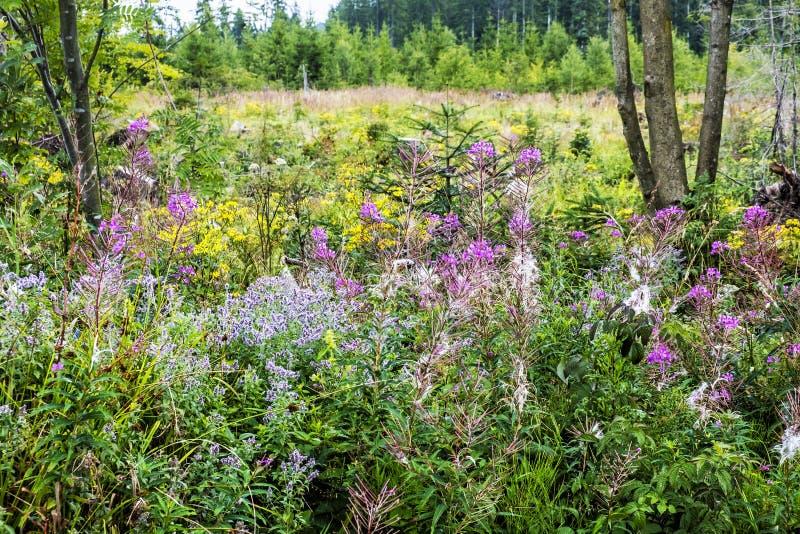 Meadow flowers, Babia hora, Orava, Slovakia stock image