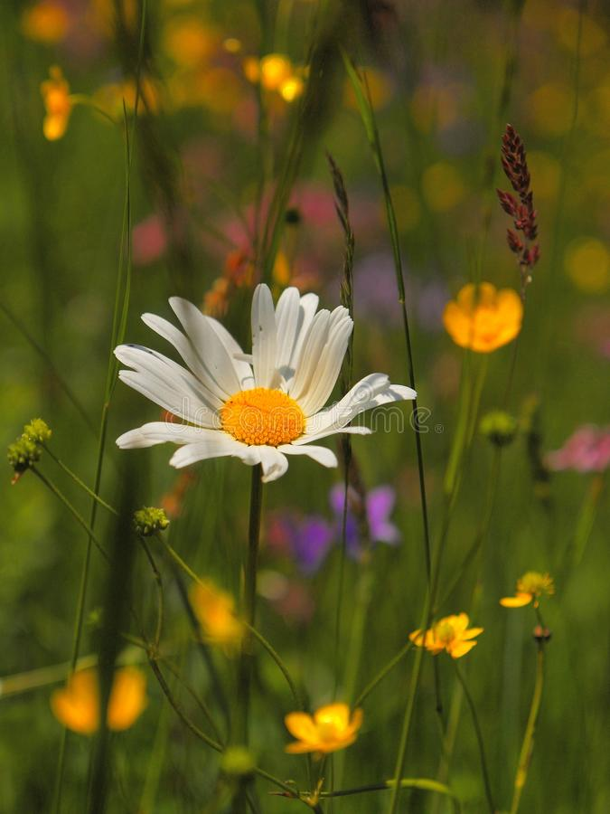Meadow flowers in blossom. White daisy flower leav stock photography