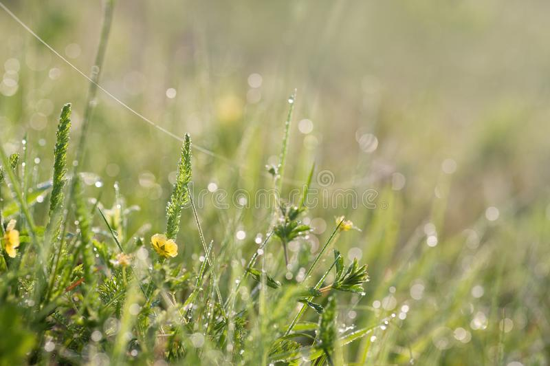 Meadow flowers with dew. Meadow flowers with drops of dew in the morning. Fresh and warm nature background. Macro image with small depth of field royalty free stock photo