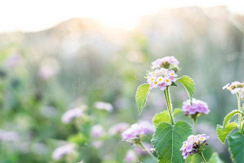 Meadow flowers in early sunny fresh morning. Vintage summer  landscape stock images
