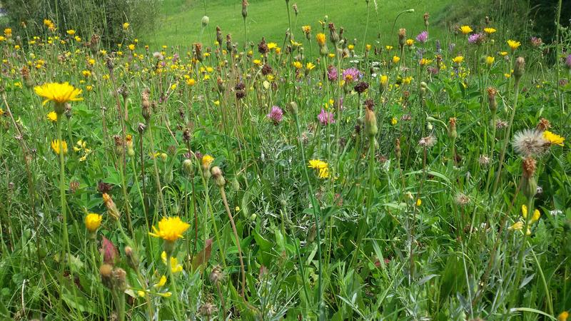 Meadow with flowers in summer. Fresh and green. Various flowers in summertime. Various flowers on a meadow in summertime. Enjoying the beautiful nature stock image