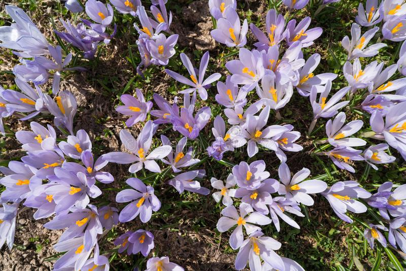 Meadow in the foothills full of crocuses. Montenegro royalty free stock photo