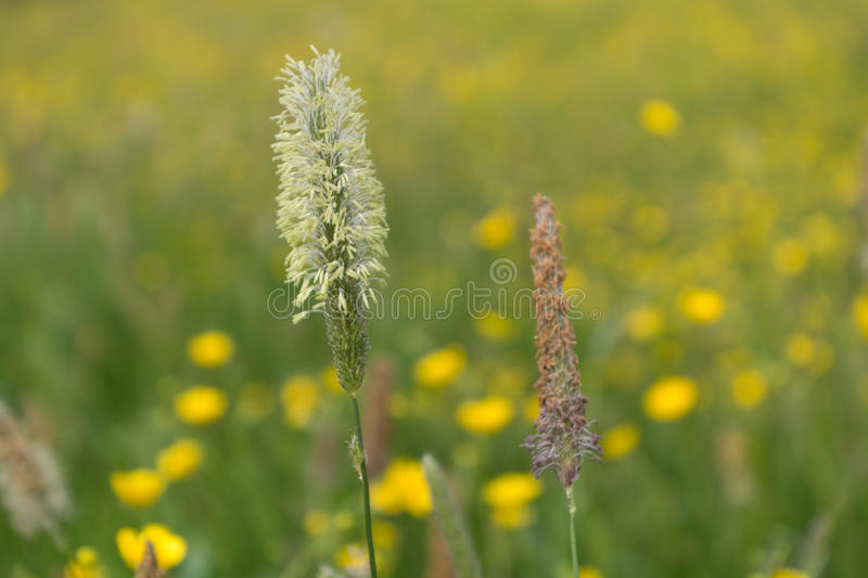 Meadow foxtail - close-up stock photo