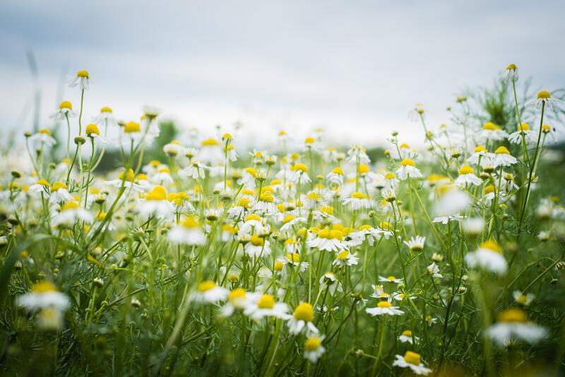 Meadow full of camomile royalty free stock images