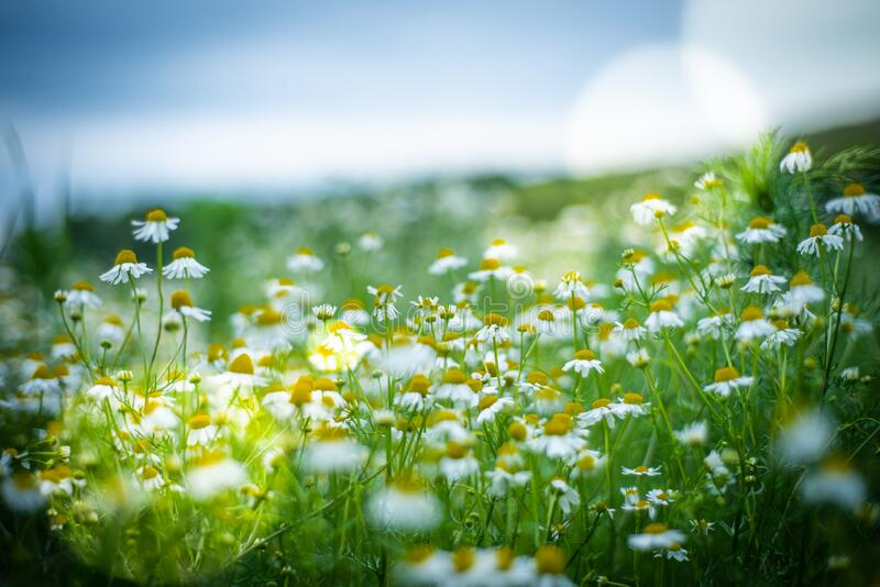 Meadow full of camomile stock image