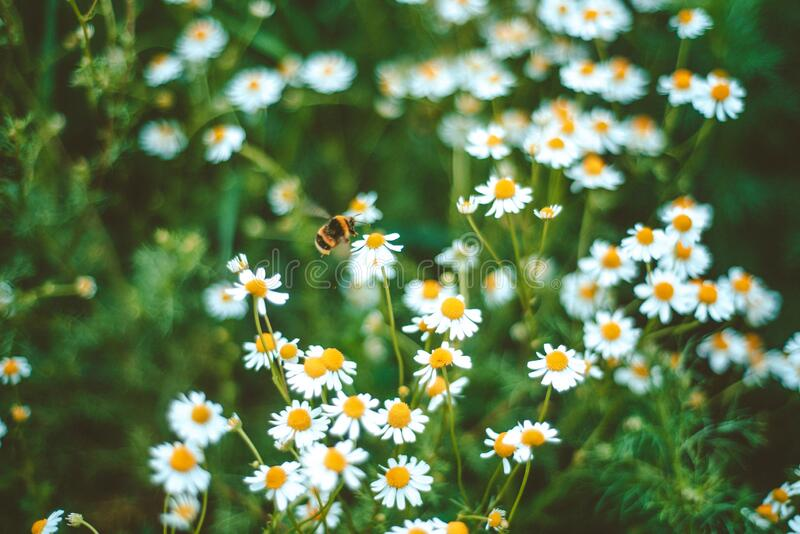 Meadow full of camomile with honeybee stock photo