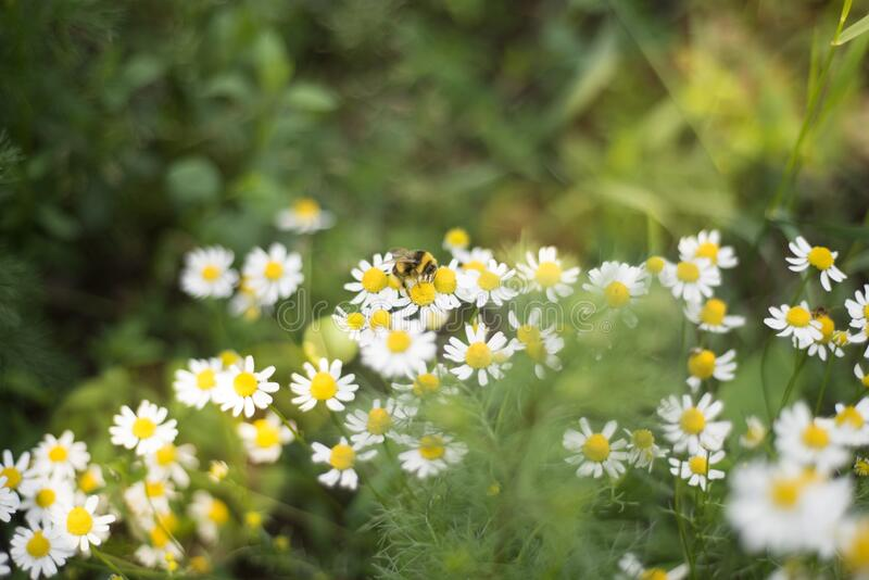 Meadow full of camomile with honeybee stock images