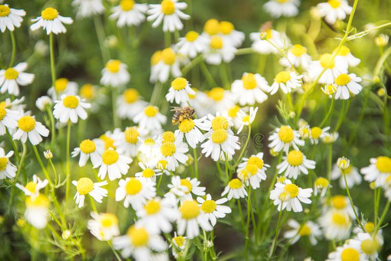Meadow full of camomile with honeybee royalty free stock photo