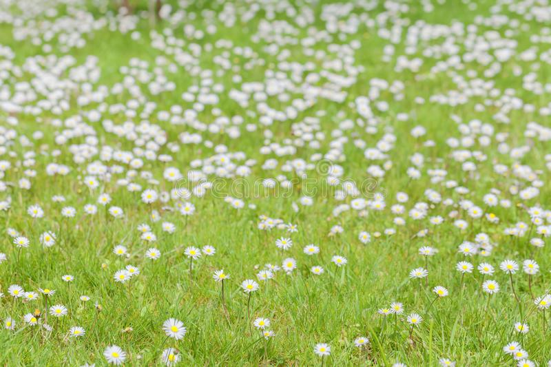 Meadow full of daisies in spring. A meadow full of daisies in spring stock photo