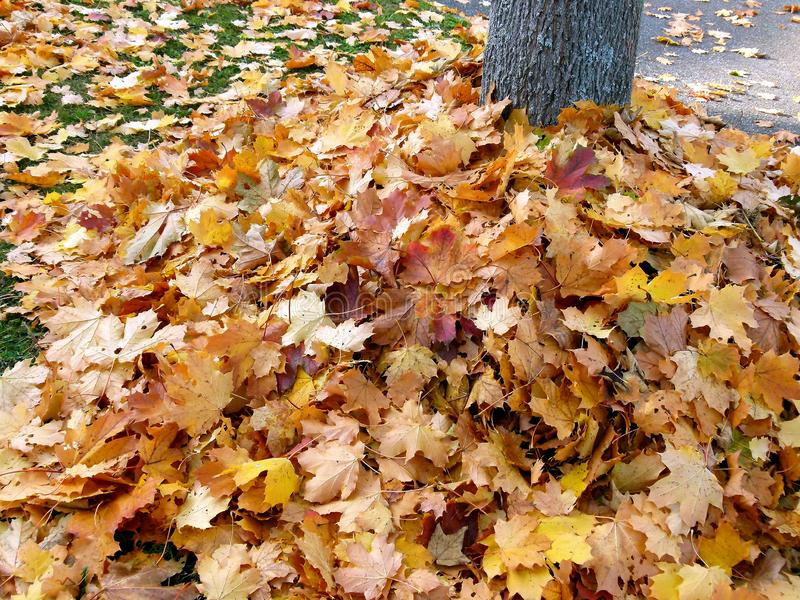 Big pile with autumn leaves around a tree trunk stock images