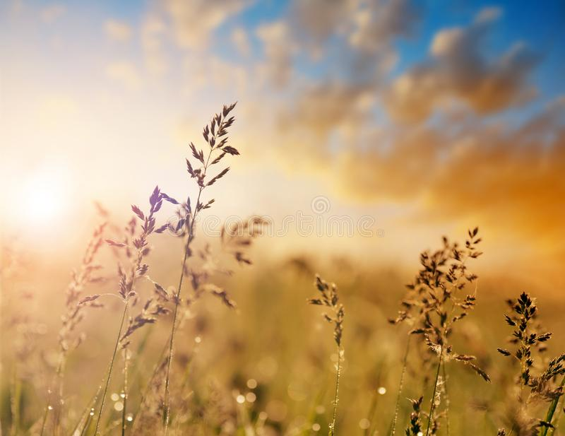 The meadow grass fescue Festuca partensis. At sunset stock photos